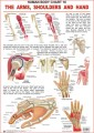 Charts the Shoulders, Arms & Hand