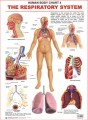 Charts the Respiratory System